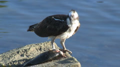 Osprey Tearing Into Flopping Fish Stock Footage