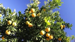 Citrus tree  Stock Footage