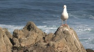 Gull at the rocks Westcoast, California, United States Stock Footage