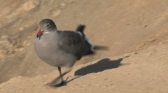 Young gray gull Westcoast, California, United States Stock Footage