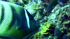 6 banded angelfish (Pomacanthus sexstriatus) eating Stock Footage