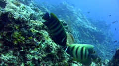 6 banded angelfish (Pomacanthus sexstriatus) close up - stock footage