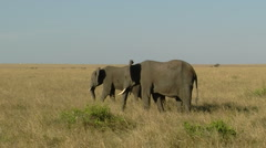 Elephants savana P6 Stock Footage