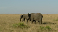 Stock Video Footage of Elephants savana P6
