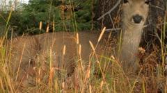 Deer rests in snow MS - stock footage