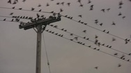 Stock Video Footage of Birds on a Wire Take Flight