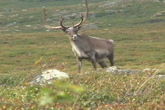 Caribou Bull Arctic Stock Footage