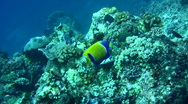 Blue-gildled angelfish (Pomacanthus navarcus) Stock Footage