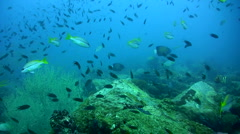 Blue-ringed angelfishes (Pomacanthus annularis) over reef Stock Footage