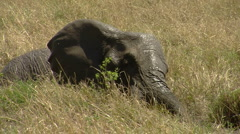 Elephants savana P9 Stock Footage