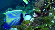 Stock Video Footage of Emperor angelfish (Pomacanthus imperator) eating