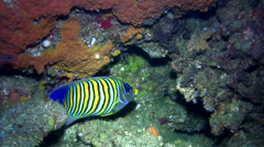 Stock Video Footage of Regal angelfish (Pygoplites diacanthus)
