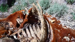 T303 dead cow carcus Stock Footage