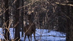 Deer jumps and runs through woods Stock Footage