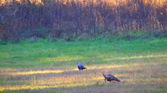 Wild turkeys 02 Stock Footage