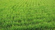Green rice field and wind Stock Footage
