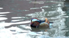 Mallards splash and swim in winter Stock Footage