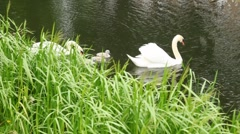 pair of white swans with nestlings on pond - stock footage