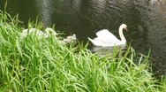 Pair of white swans with nestlings on pond Stock Footage
