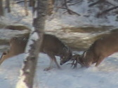 Stock Video Footage of Whitetail Bucks Fighting