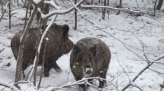 Wild boar,wild boars, hog, group, wild animals Stock Footage