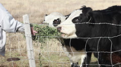 Cows eating alfalfa from woman 8104 Stock Footage