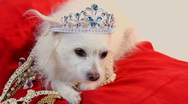 Stock Video Footage of Dog Princess Wears Crown Jewels Lies On Red Pillow