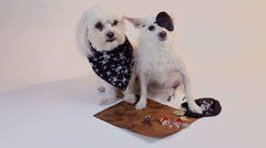 Dog Pirates Guard Treasure Map ARGH Stock Footage