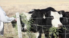 Cows eating hay from hand 8103 Stock Footage