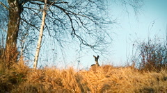 Roe deer on the field, autumn season. - stock footage