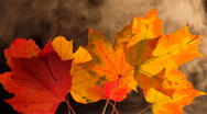 Stock Video Footage of Smoke Sails Across Vibrant Fall Leaves