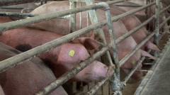 Pigs on Farm Stock Footage