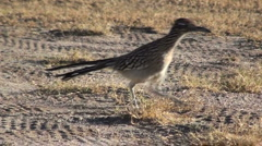 Stock Video Footage of Roadrunner Close-Up