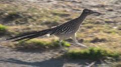 Stock Video Footage of Roadrunner Desert Walk