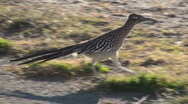 Stock Video Footage of Roadrunner Desert Walk