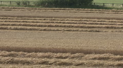 Partly cut wheat crop moves in breeze. Stock Footage