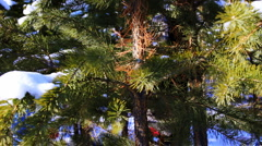 Motion shot of pine tree in the winter snowy forest Stock Footage