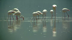 Flamingo Nakuru P5 Stock Footage