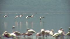 Flamingo Nakuru P8 Stock Footage