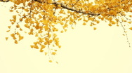 Yellow leaves on the branches in the autumn forest. Stock Footage