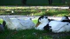 White Ducks Stock Footage