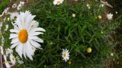 Big garden chamomile flowers. Stock Footage