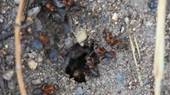 Stock Video Footage of Ants nest. Macro.