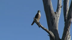 Peregrine Falcon Flying Off Of Perch - stock footage