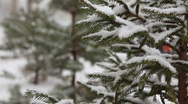 Stock Video Footage of Fir tree branch