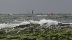 Windsurfer and Seagulls on Sylt Stock Footage
