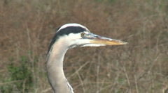 Great Blue Heron Opening Beak Stock Footage
