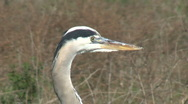 Stock Video Footage of Great Blue Heron Opening Beak