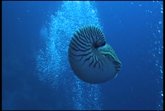 nautilus diving underwater video - stock footage