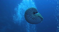 Stock Video Footage of nautilus diving underwater video